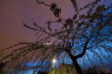 Cerisier la nuit